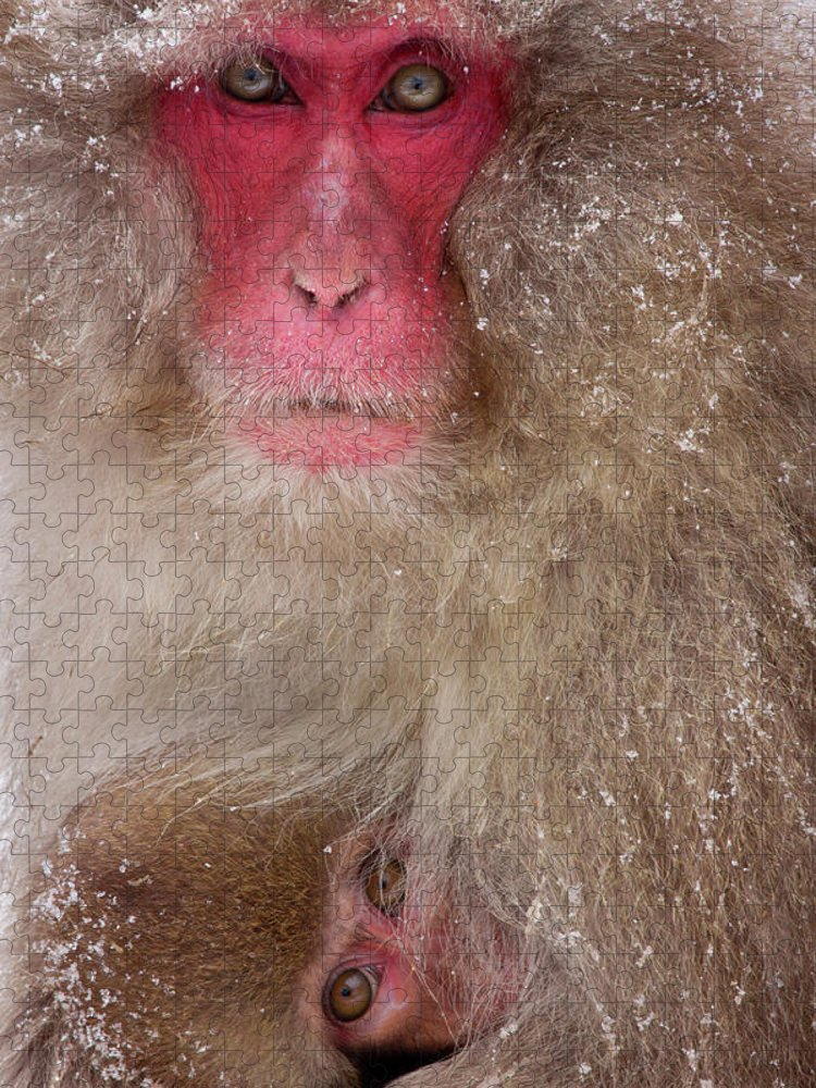 Vertebrate Puzzle featuring the photograph Japanese Macaques, Japanese Alps by Mint Images/ Art Wolfe
