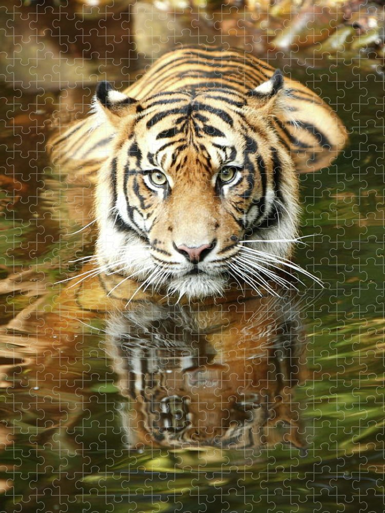 Big Cat Puzzle featuring the photograph Tiger by Craigrjd