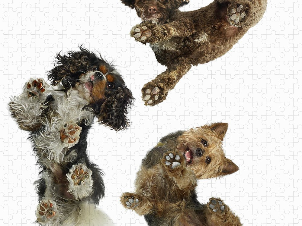 White Background Puzzle featuring the photograph 3 Dogs Looking Down by Gandee Vasan
