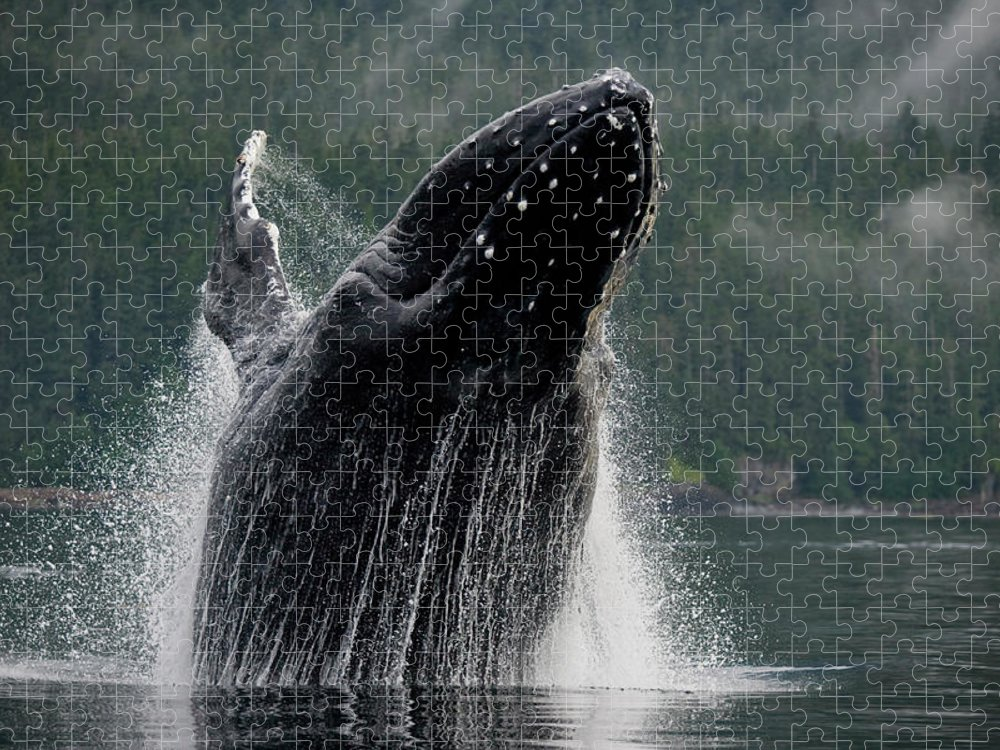 Animal Themes Puzzle featuring the photograph Breaching Humpback Whale, Alaska by Paul Souders