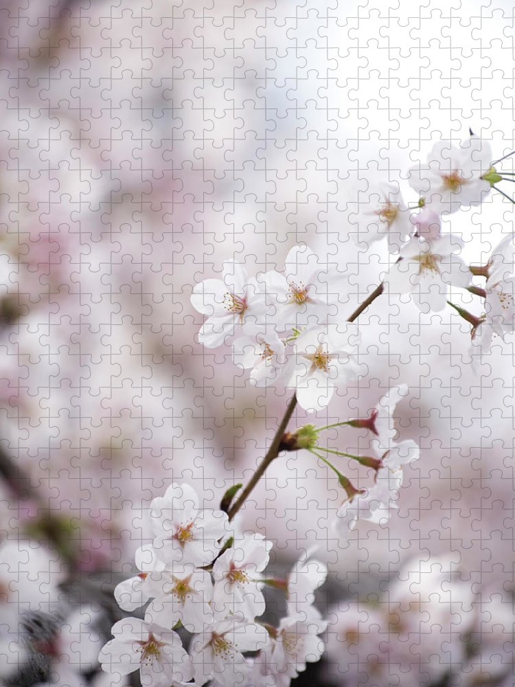 Celebration Puzzle featuring the photograph Cherry Blossoms by Ooyoo
