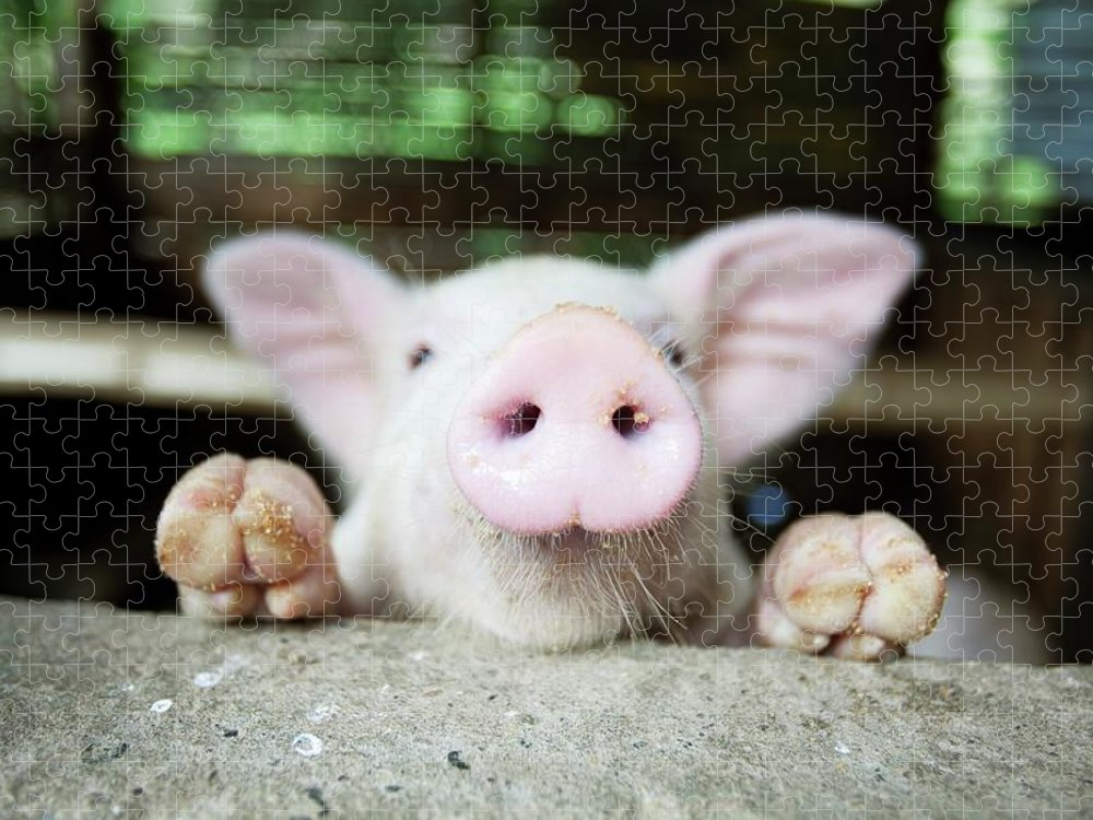 Negros Oriental Puzzle featuring the photograph A Baby Pig In Its Pen by Design Pics / Deddeda