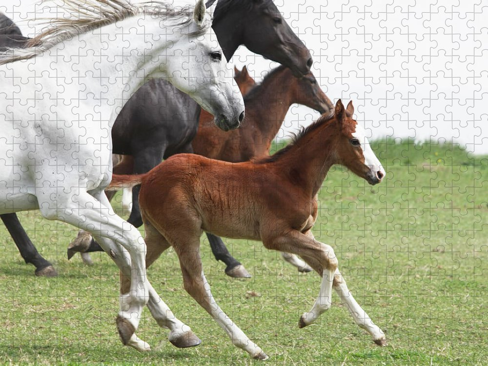 Horse Puzzle featuring the photograph A Group Of Galloping Horses In An Open by Somogyvari