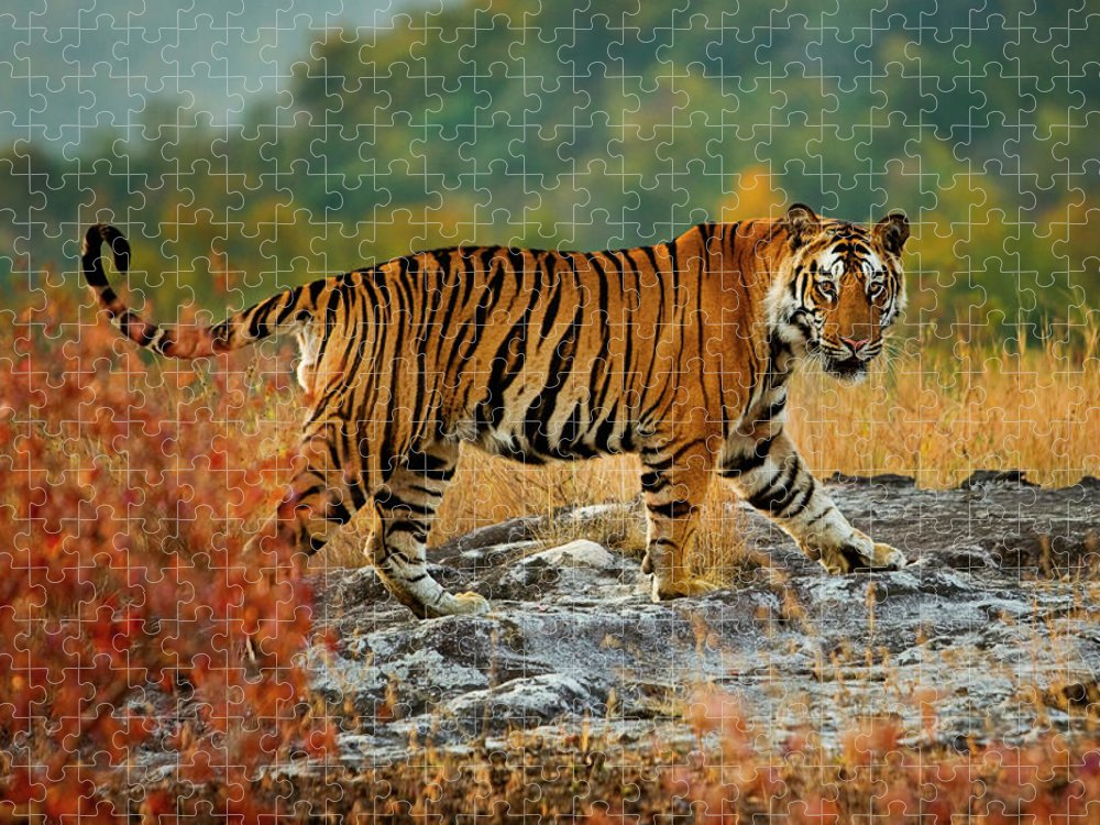 Vertebrate Puzzle featuring the photograph A Large Tiger In Bandhavgarh National by Mint Images - Art Wolfe