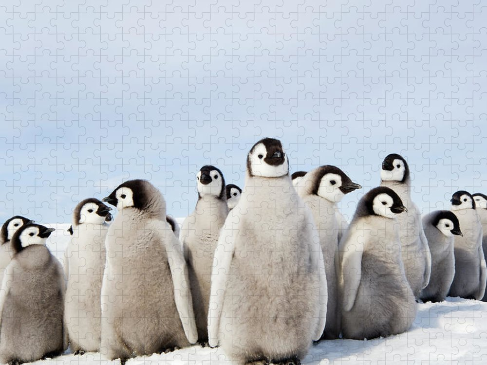 Emperor Penguin Puzzle featuring the photograph A Nursery Group Of Emperor Penguin by Mint Images - David Schultz
