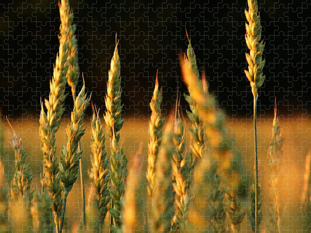 Bakery Puzzle featuring the photograph A Wheat Field Towards The End Of The Day by Ssuni