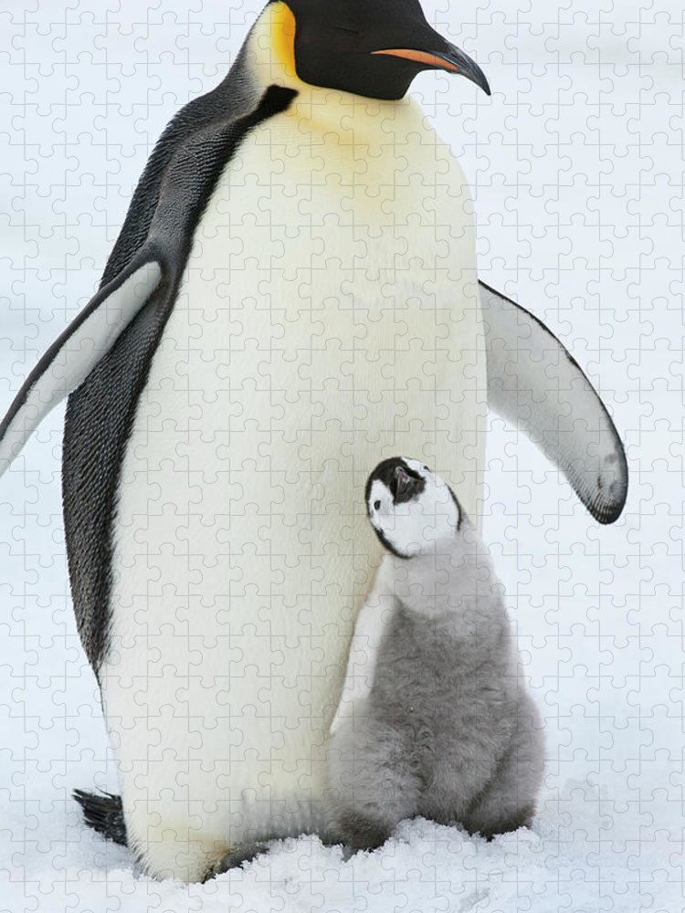Emperor Penguin Puzzle featuring the photograph An Adult Emperor Penguin With A Small by Mint Images - David Schultz