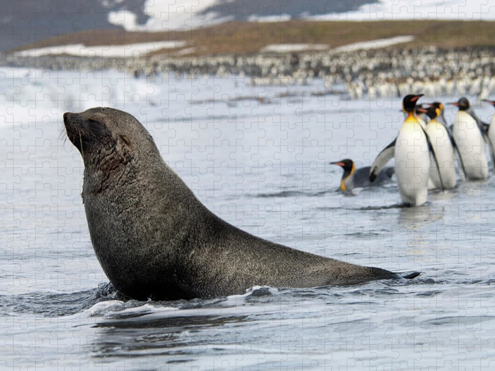Water's Edge Puzzle featuring the photograph An Antarctic Fur Seal, Arctocephalus by Mint Images - David Schultz