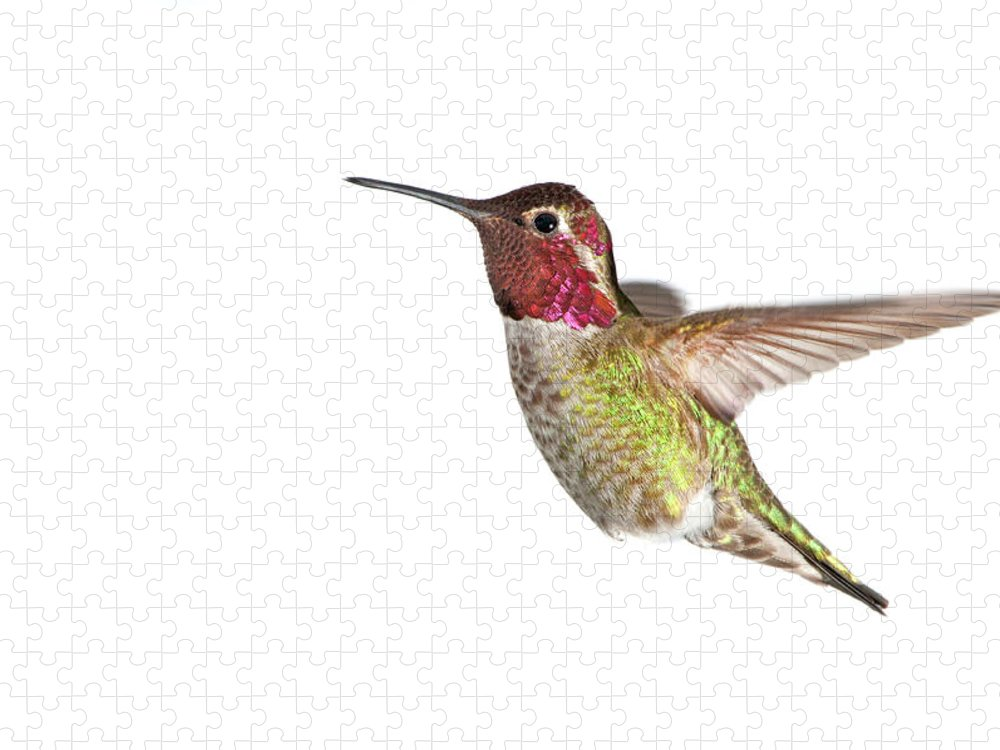 Hanging Puzzle featuring the photograph Annas Hummingbird - Male, White by Birdimages