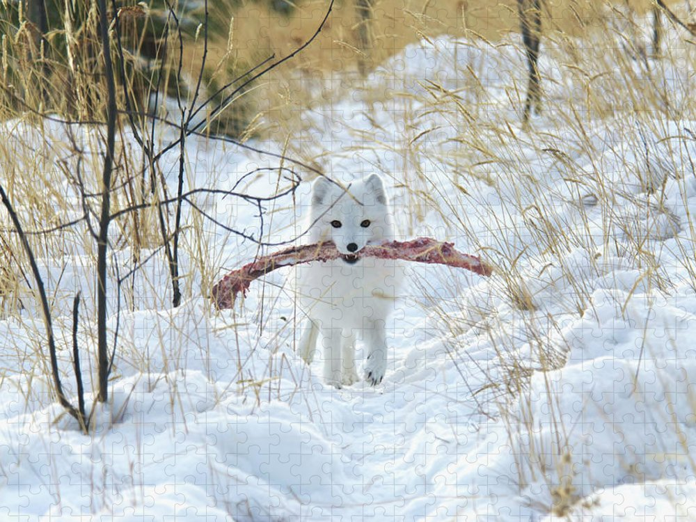 Grass Puzzle featuring the photograph Arctic Fox Alopex Lagopus In White by Mark Newman / Design Pics