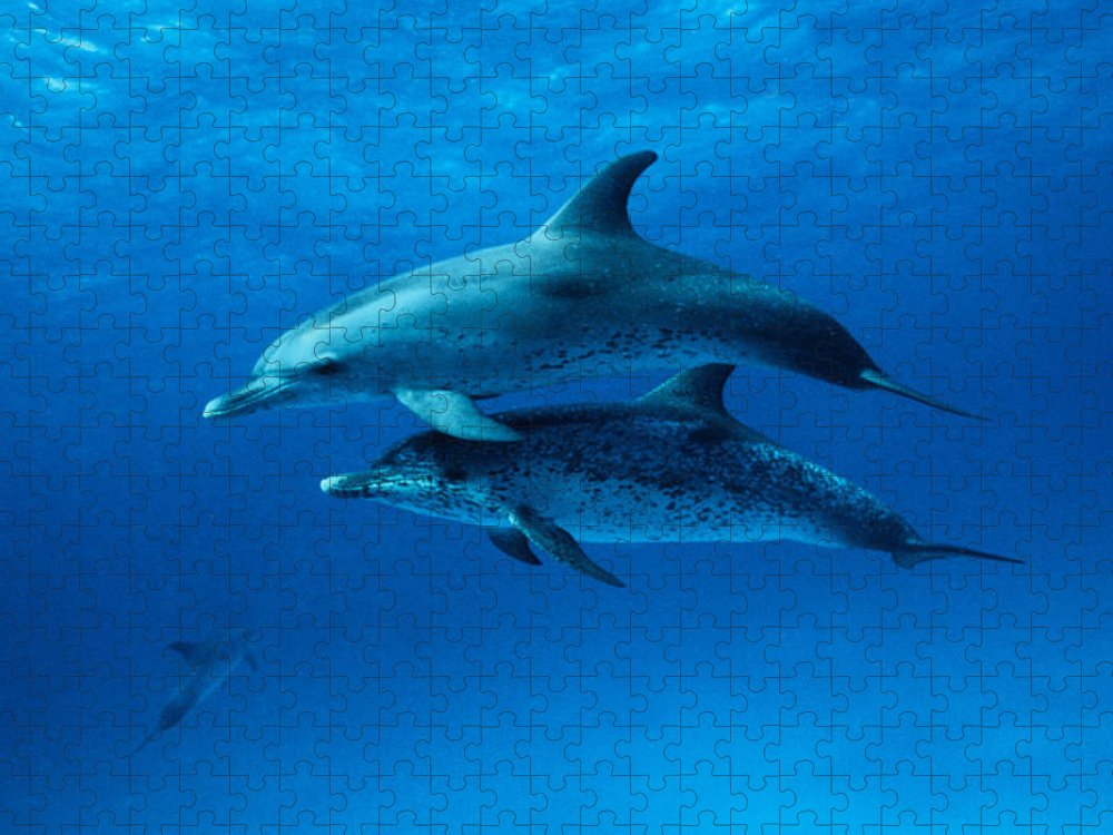 Color Image Puzzle featuring the photograph Atlantic Spotted Dolphins,stenella by Gerard Soury