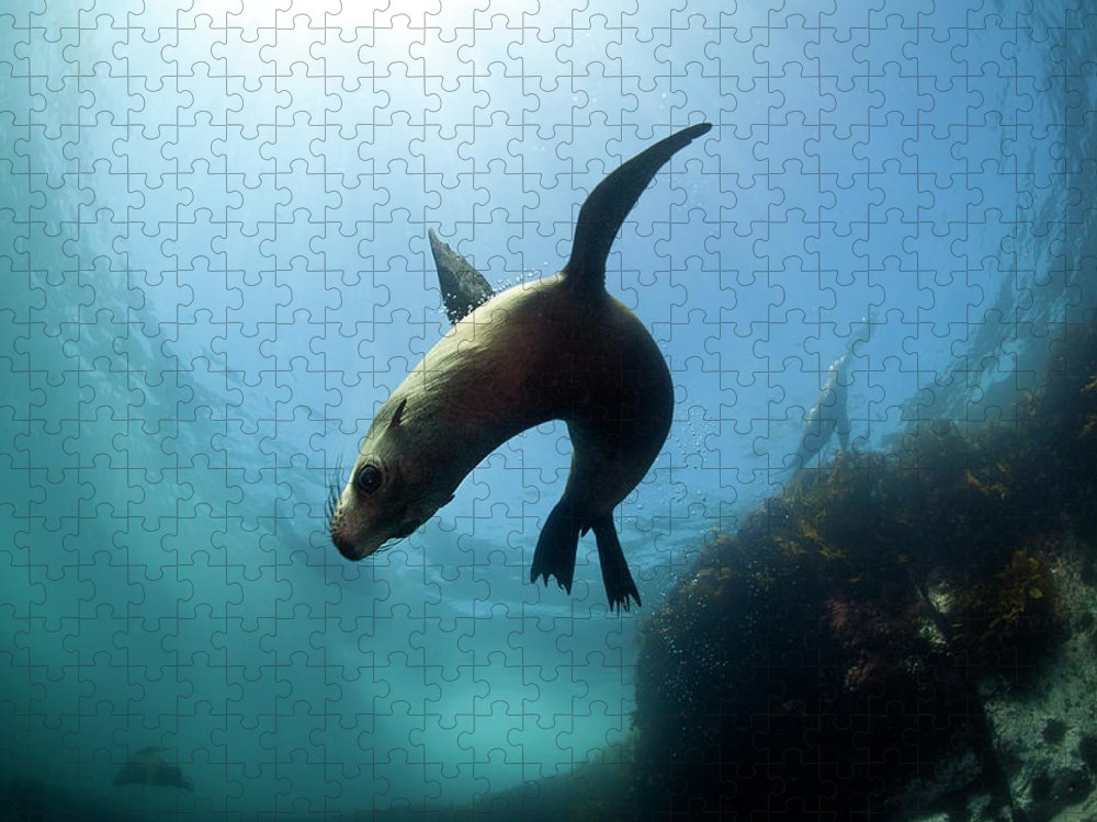 Underwater Puzzle featuring the photograph Australian Fur Seal With Sun Burst by Alastair Pollock Photography
