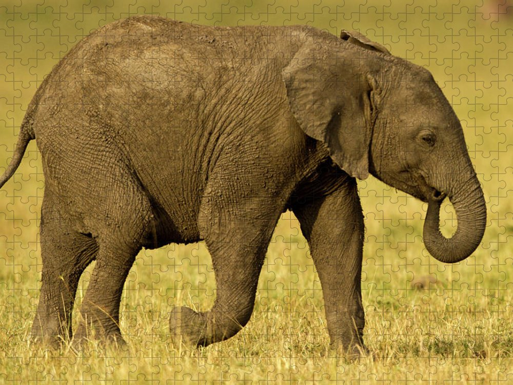 Following Puzzle featuring the photograph Baby Elephant Following The Herd On The by Manoj Shah