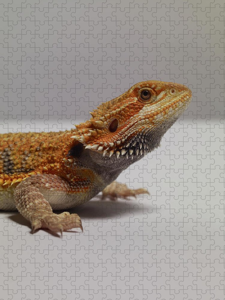 Alertness Puzzle featuring the photograph Bearded Dragon by Dan Burn-forti