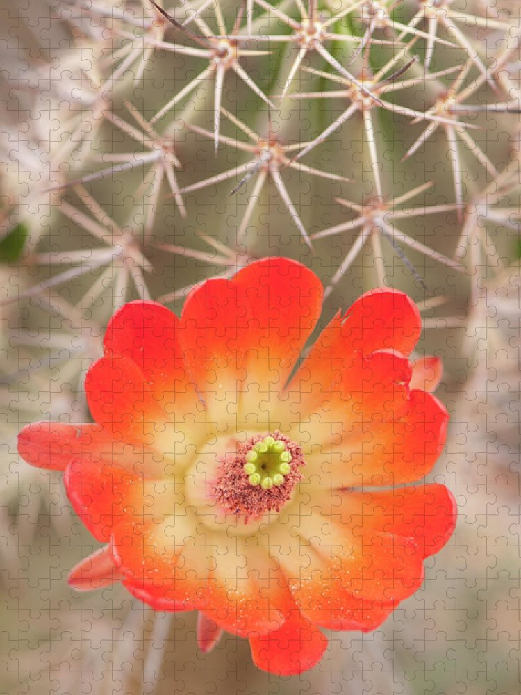 Orange Color Puzzle featuring the photograph Beautiful Claret Cup Hedgehog Blossoms by Lokibaho