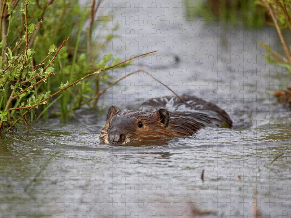 Beaver Puzzle featuring the photograph Beaver Castor Canadensis Swimming In by James Hager / Robertharding