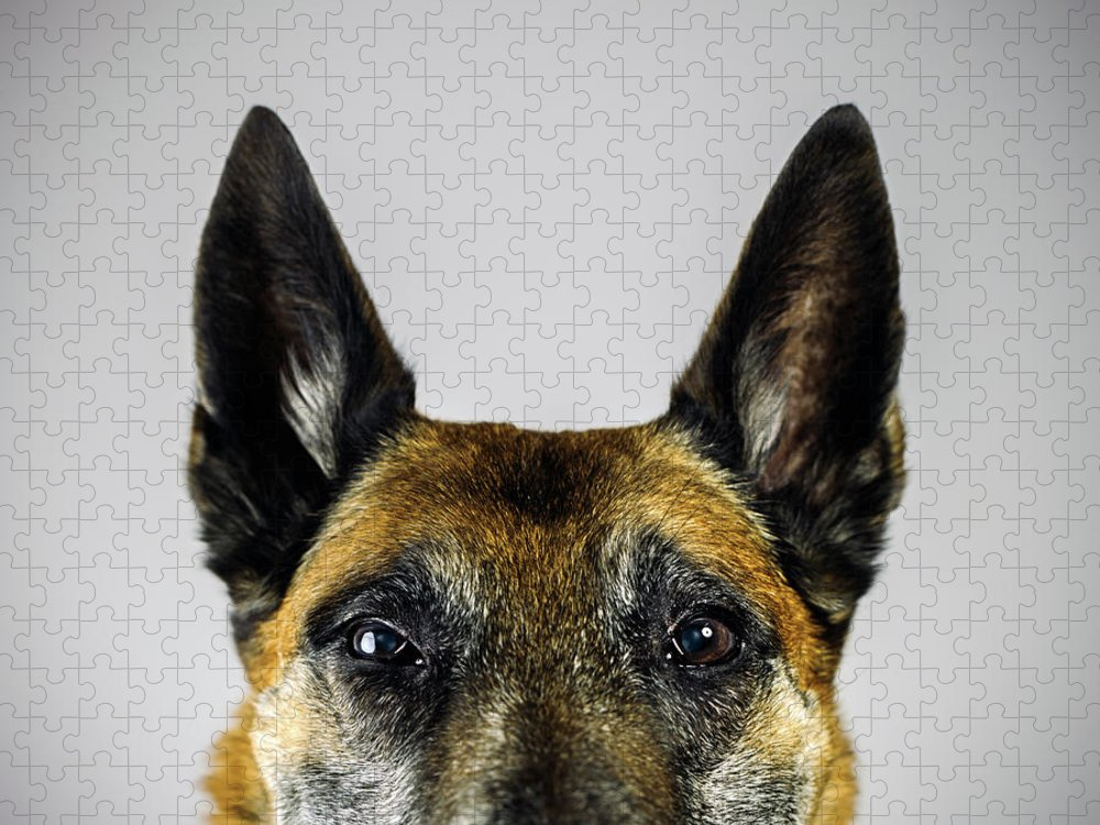Pets Puzzle featuring the photograph Belgian Sheperd Malinois Dog Looking At by Joan Vicent Cantó Roig
