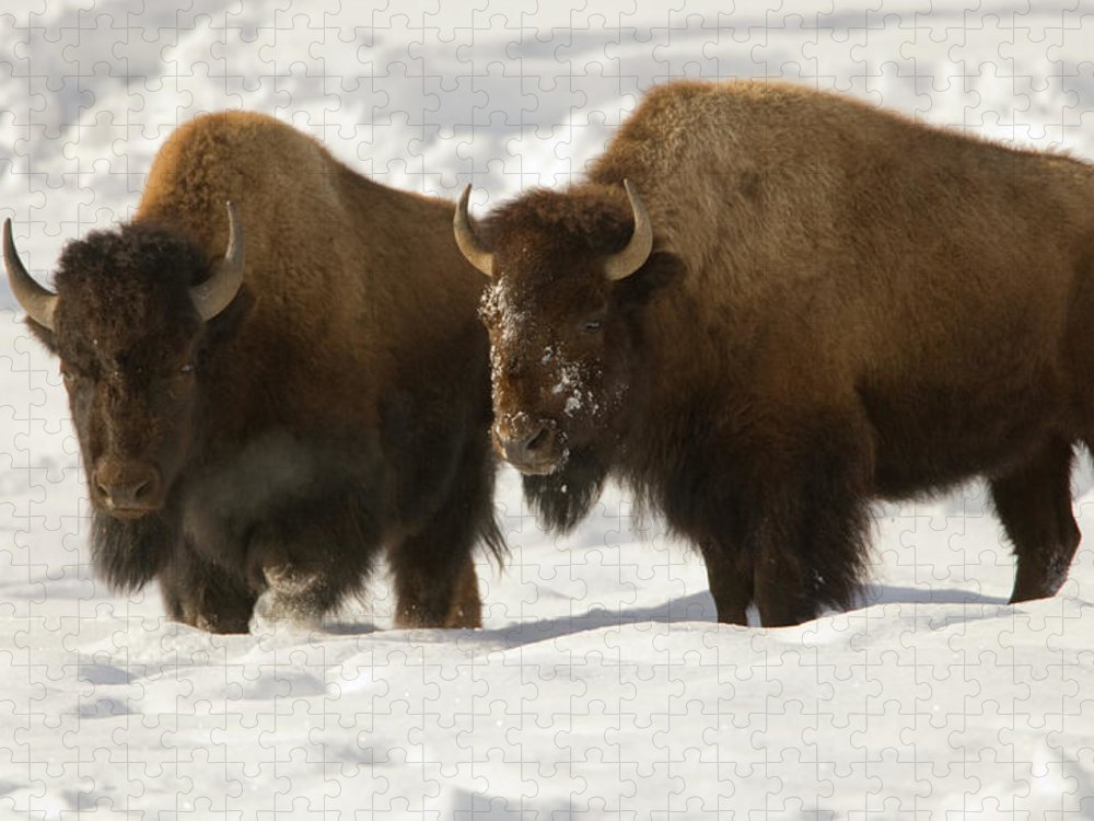 Horned Puzzle featuring the photograph Bison Brothers by Kencanning