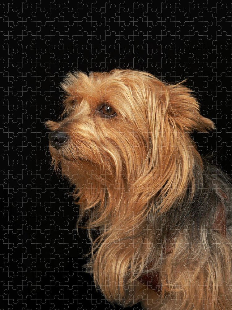 Pets Puzzle featuring the photograph Black And Brown Yorkie Left Profile On by M Photo
