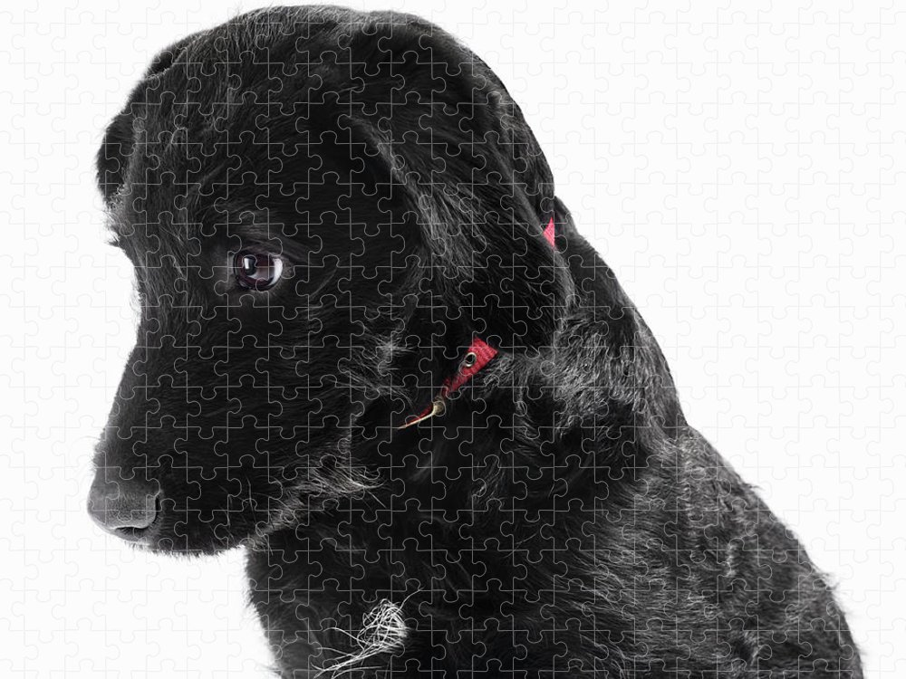 Pets Puzzle featuring the photograph Black Labradoodle by Gandee Vasan