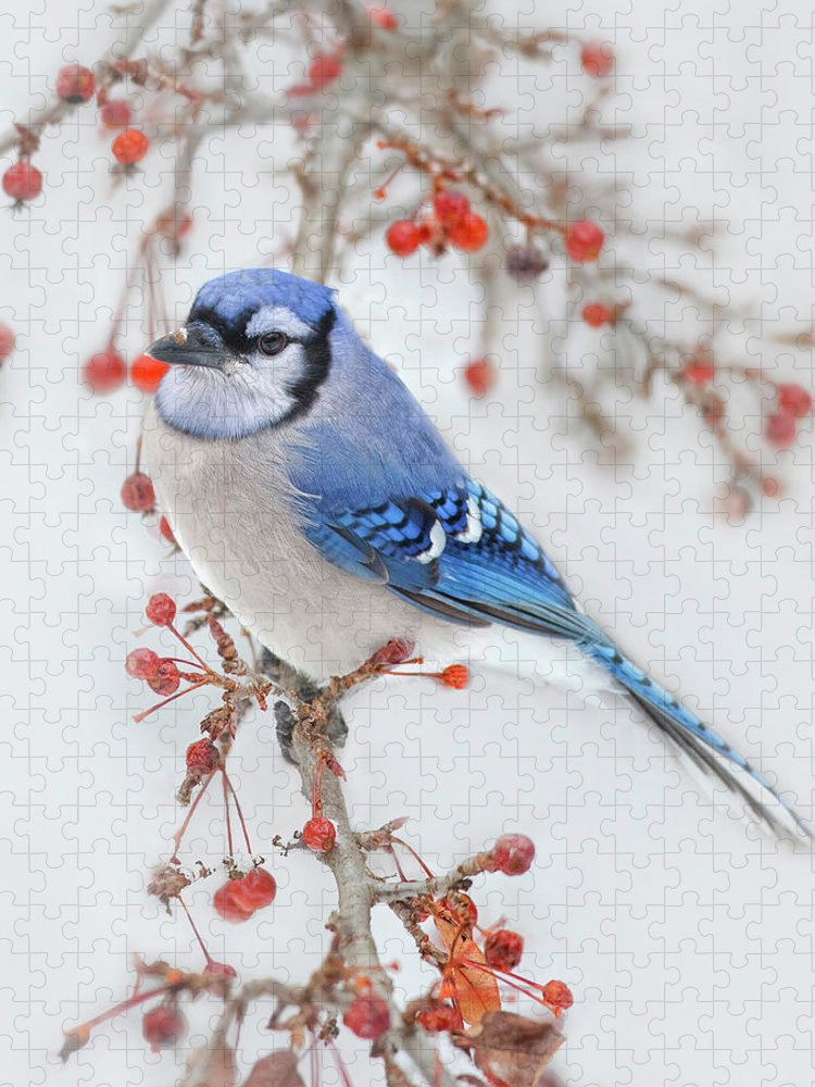 Blue Jay Puzzle featuring the photograph Blue Jay In Wild Apple Tree by Betty Wiley