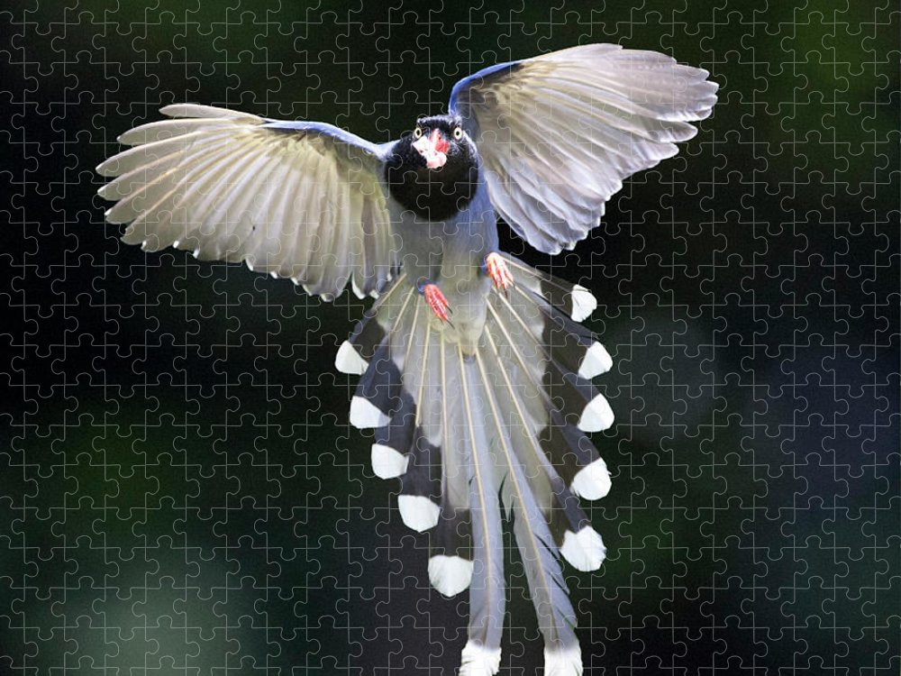 Magpie Puzzle featuring the photograph Blue Magpie Flying by Richard Mcmanus
