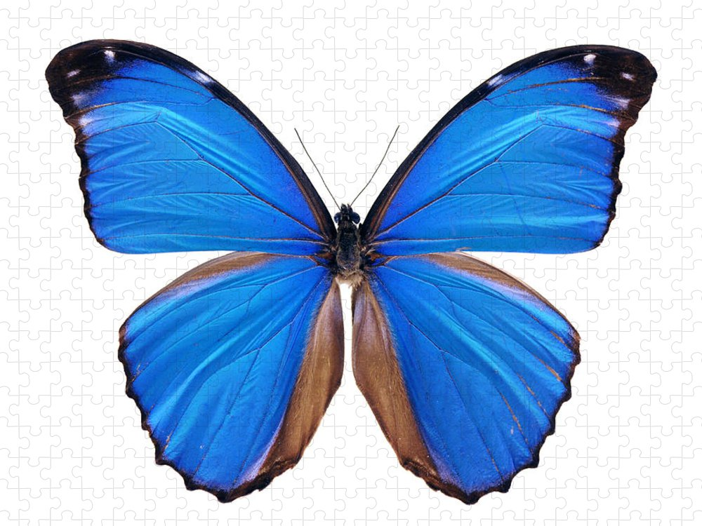 Amazon Rainforest Puzzle featuring the photograph Blue Morpho Butterfly - Large by Phototalk