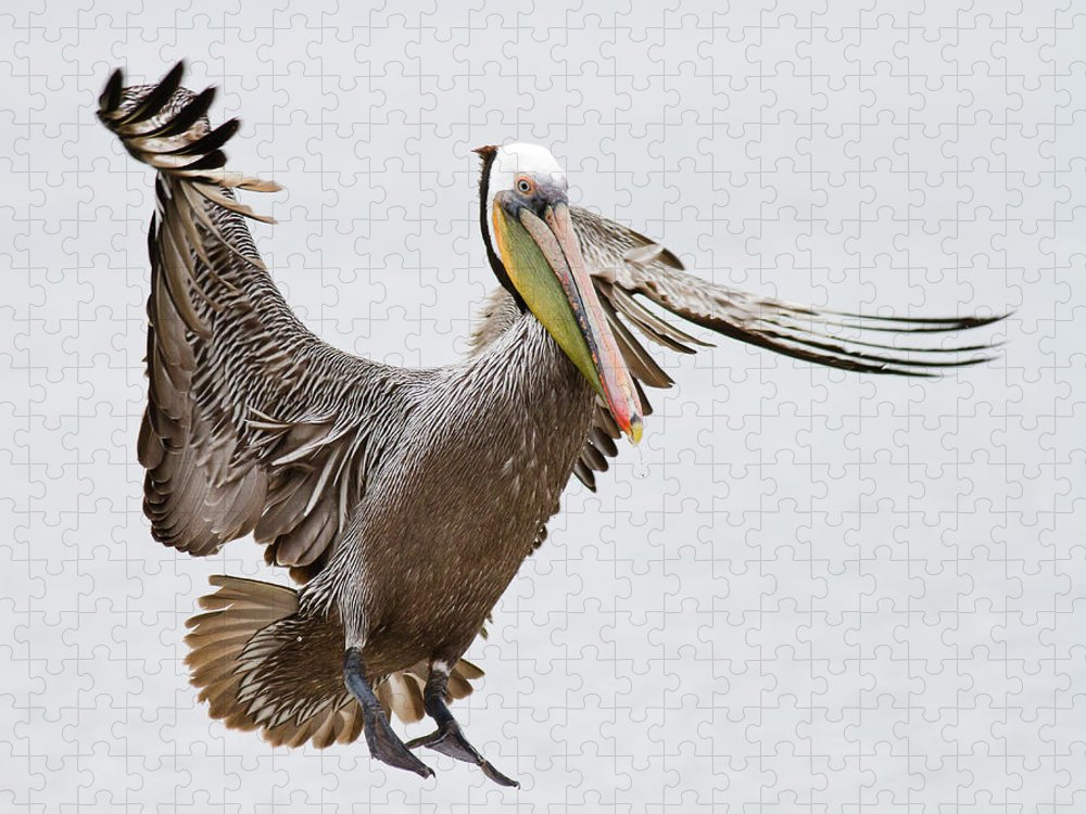 Oakland Puzzle featuring the photograph Brown Pelican by By Davor Desancic