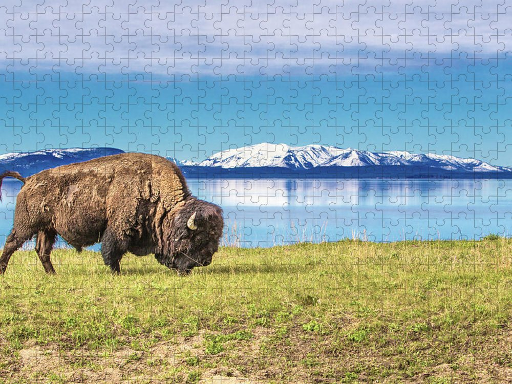 African Buffalo Puzzle featuring the photograph Buffalo Grasing In Yellowstone National by Daniel Osterkamp