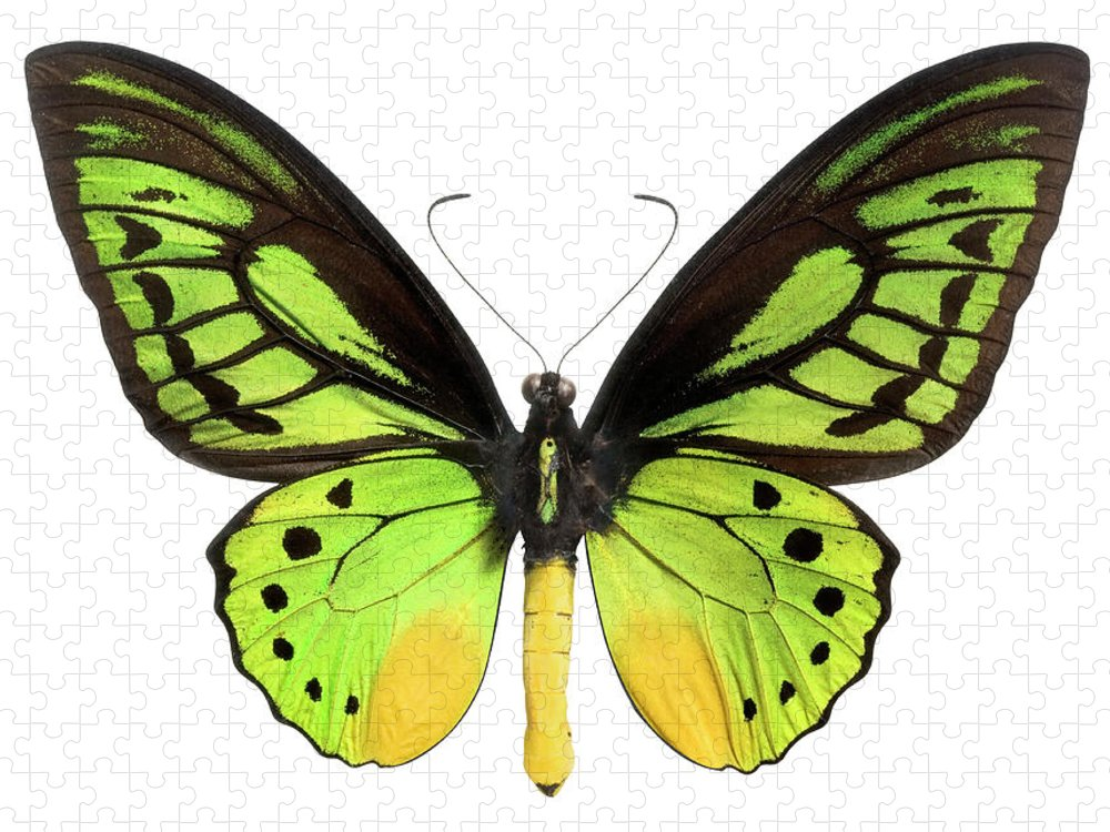 White Background Puzzle featuring the photograph Butterfly Lepidoptera With Green, Black by Flamingpumpkin