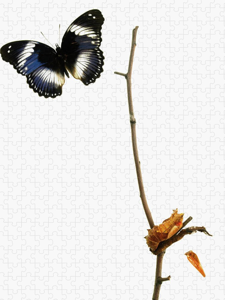 White Background Puzzle featuring the photograph Butterfly Transformation by David Arky
