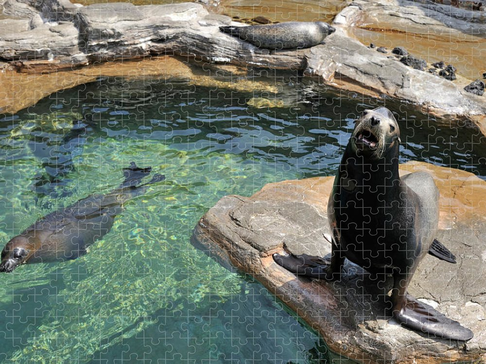 Sea Lion Puzzle featuring the photograph California Sea Lion And Spotted Seal by T. Nakamura Volvox Inc.
