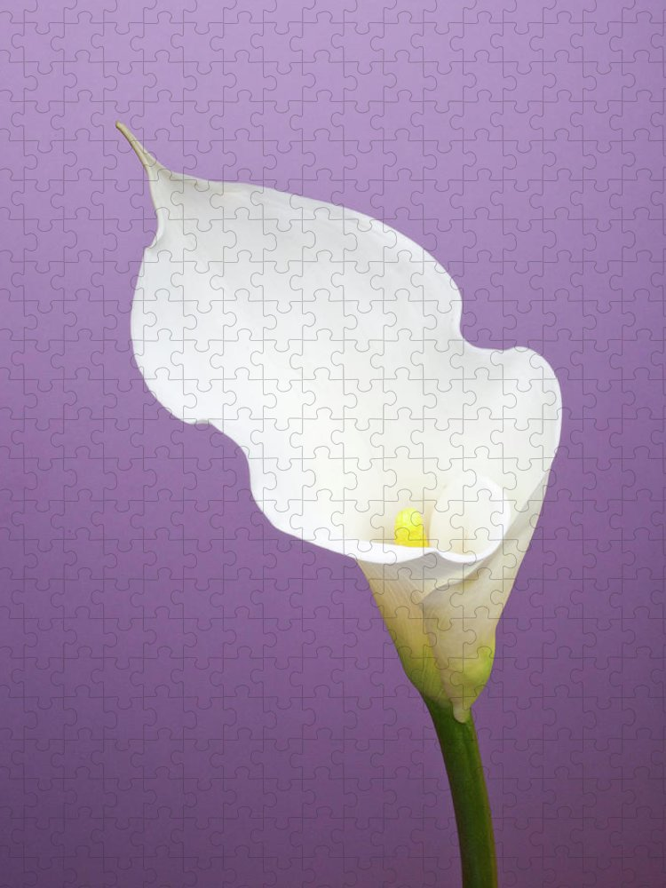 Calla Lily Puzzle featuring the photograph Calla Lily On Purple Background by William Andrew