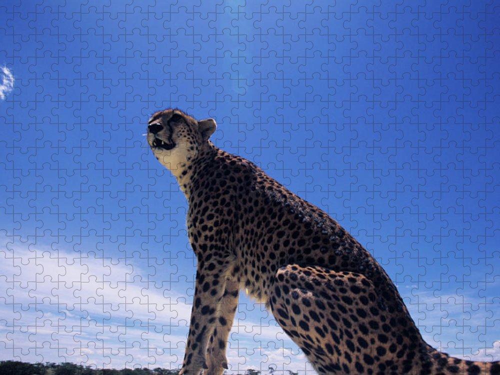 Kenya Puzzle featuring the photograph Cheetah Acinonyx Jubatus, Against Blue by Anup Shah