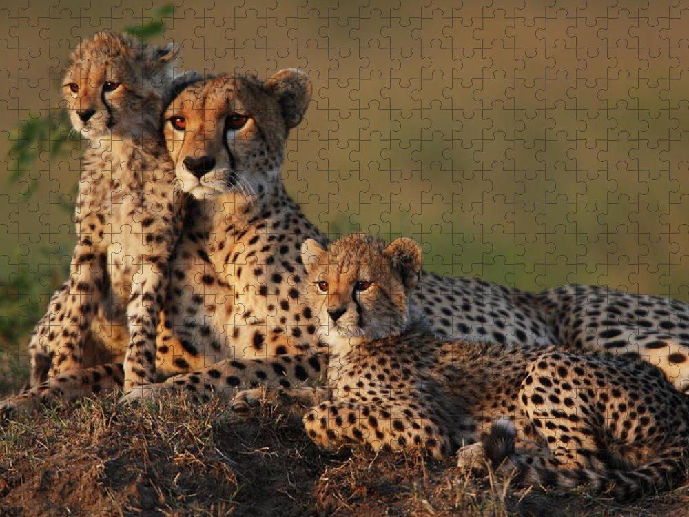 Kenya Puzzle featuring the photograph Cheetah Family by Gp232