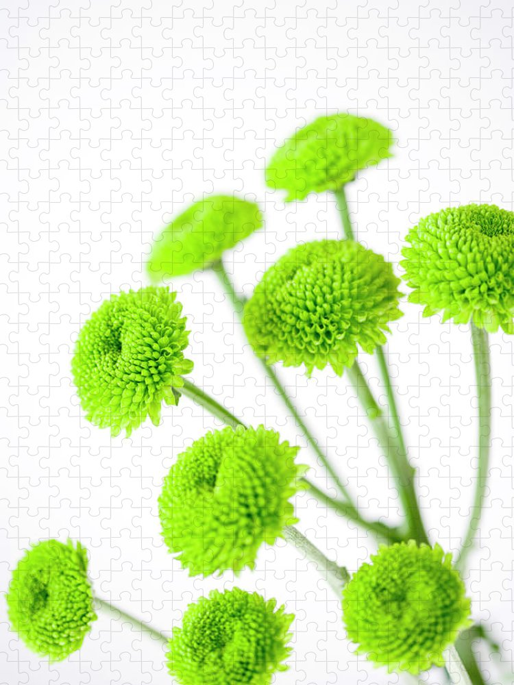 White Background Puzzle featuring the photograph Chrysanthemum Flowers by Nicholas Rigg