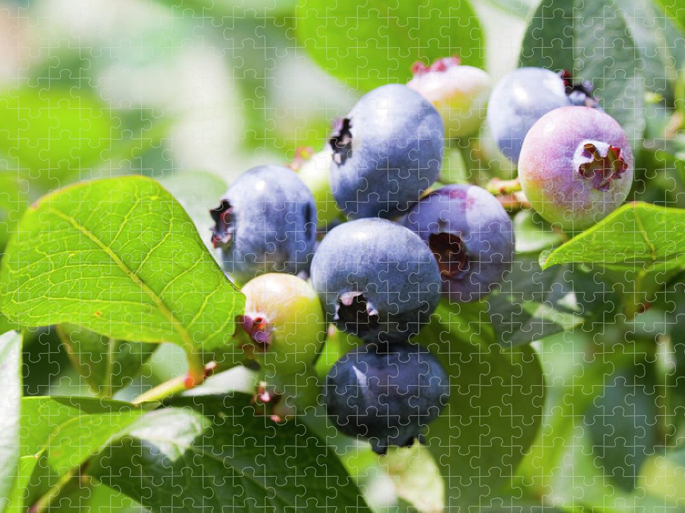 Yamanashi Prefecture Puzzle featuring the photograph Close-up Of Blueberry Plant And Berries by Daisuke Morita