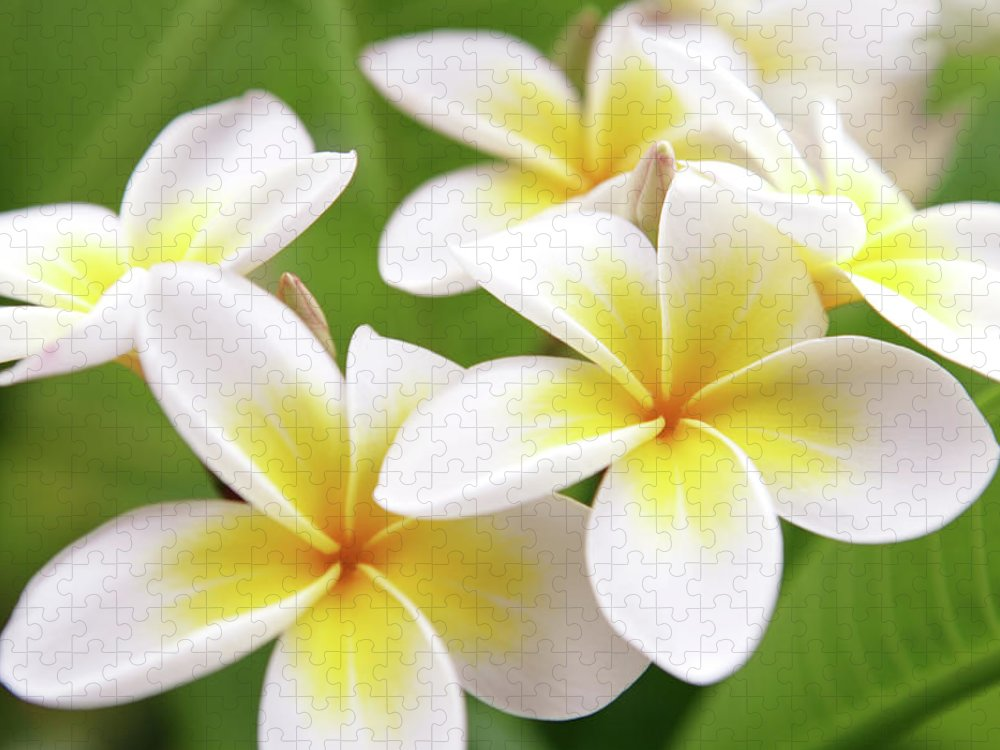 Bunch Puzzle featuring the photograph Close Up Of White And Yellow Plumeria by Hidesy