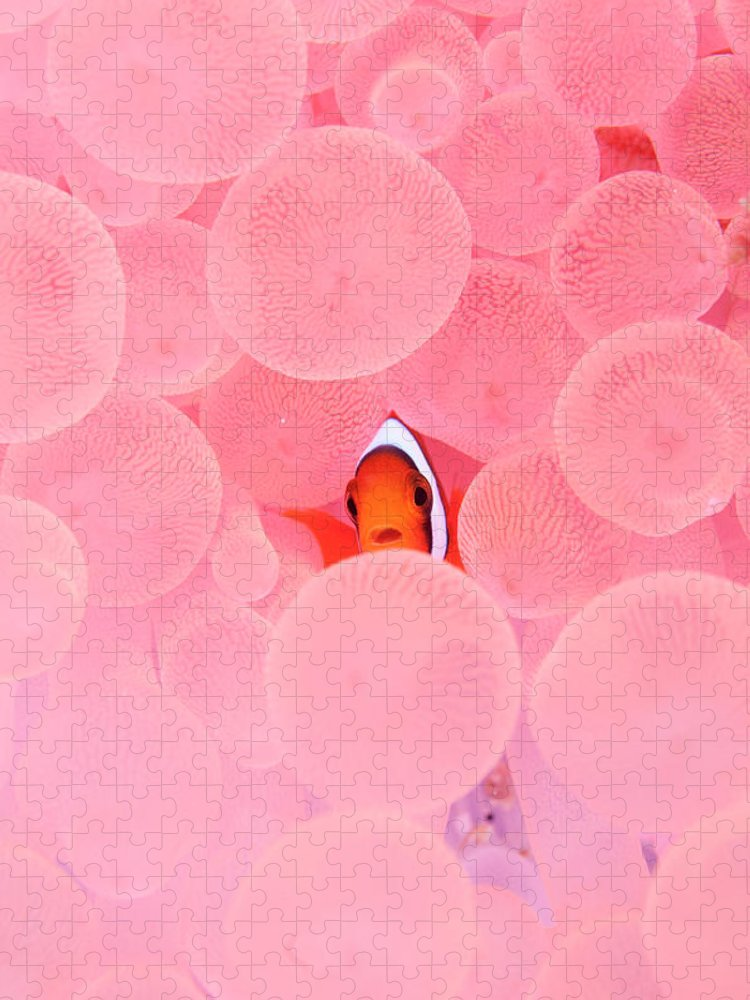 Underwater Puzzle featuring the photograph Clownfish In Corals by Yusuke Okada/a.collectionrf