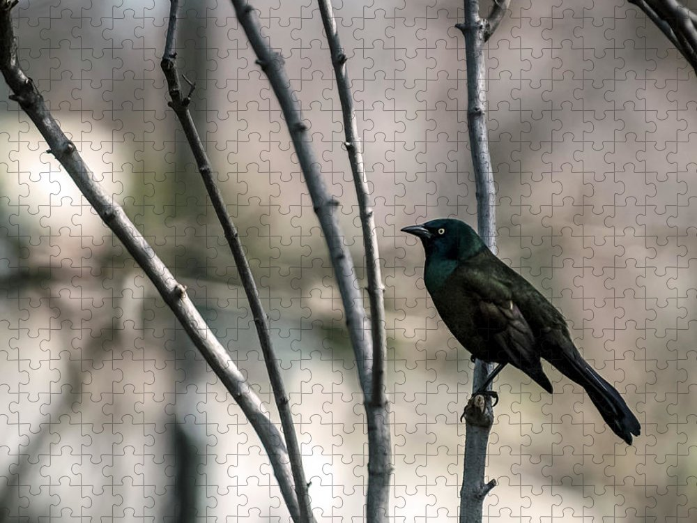 Animal Themes Puzzle featuring the photograph Common Grackle by By Ken Ilio
