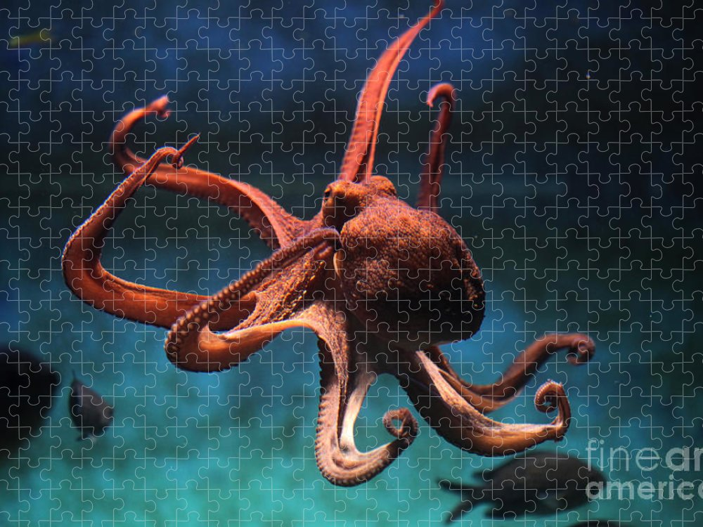 Octopus Puzzle featuring the photograph Common Octopus Octopus Vulgaris by Vladimir Wrangel