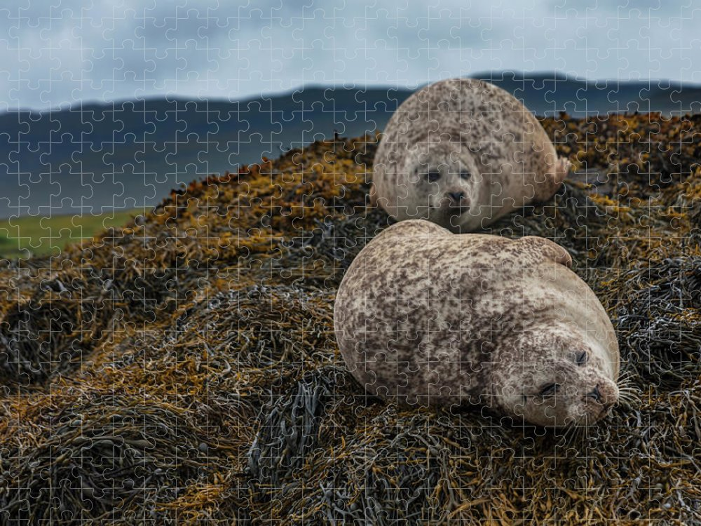 Seaweed Puzzle featuring the photograph Common Seals, Loch Dunvegan, Isle Of by Diane Macdonald