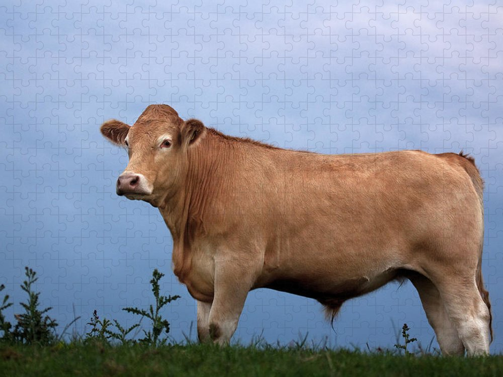 Grass Puzzle featuring the photograph Cow Against The Sky by Nwg Photography