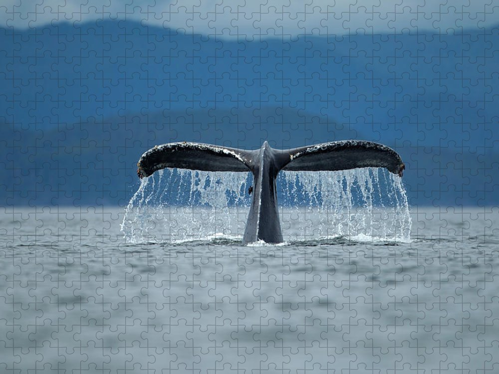 Diving Into Water Puzzle featuring the photograph Diving Humpback Whale, Alaska by Paul Souders