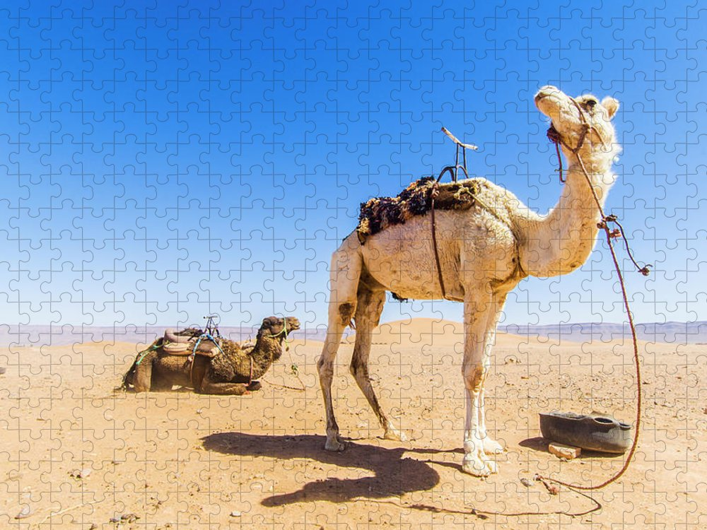 Working Animal Puzzle featuring the photograph Draa Valley, Camel At Tinfou by Maremagnum
