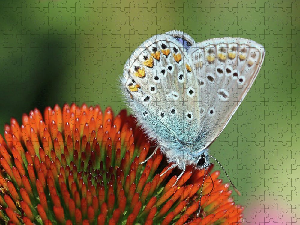 Common Blue Butterfly Puzzle featuring the photograph Echinacea And Common Blue Butterfly by Getty Images Verkauf
