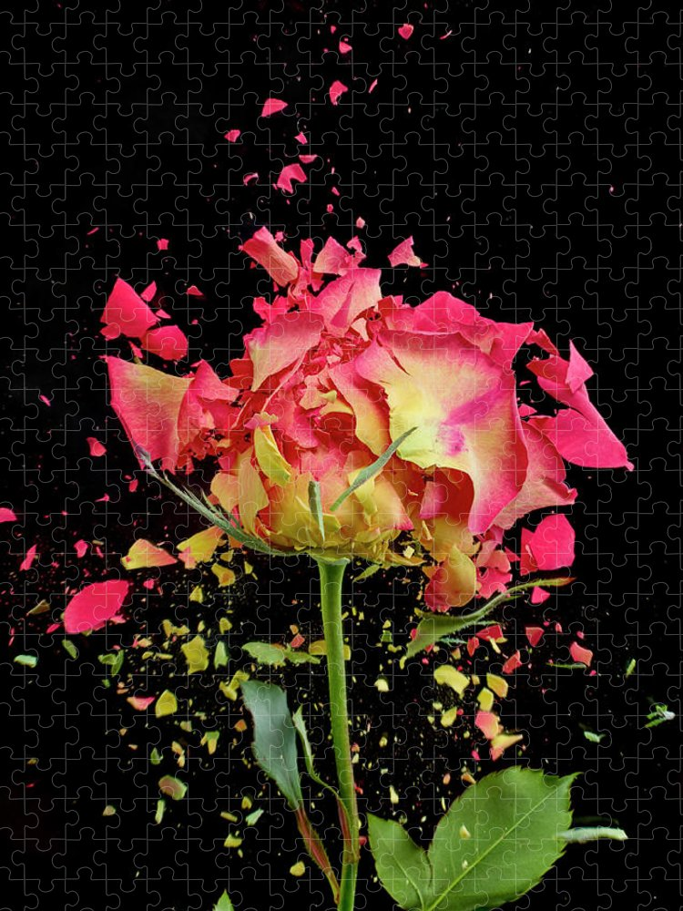 Black Background Puzzle featuring the photograph Exploding Rose by Don Farrall