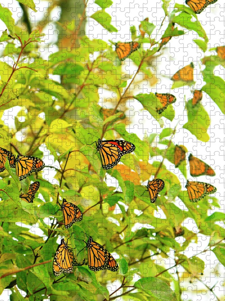 Point Pelee National Park Puzzle featuring the photograph Fall Migrating Monarch Butterflies by Diane Labombarbe