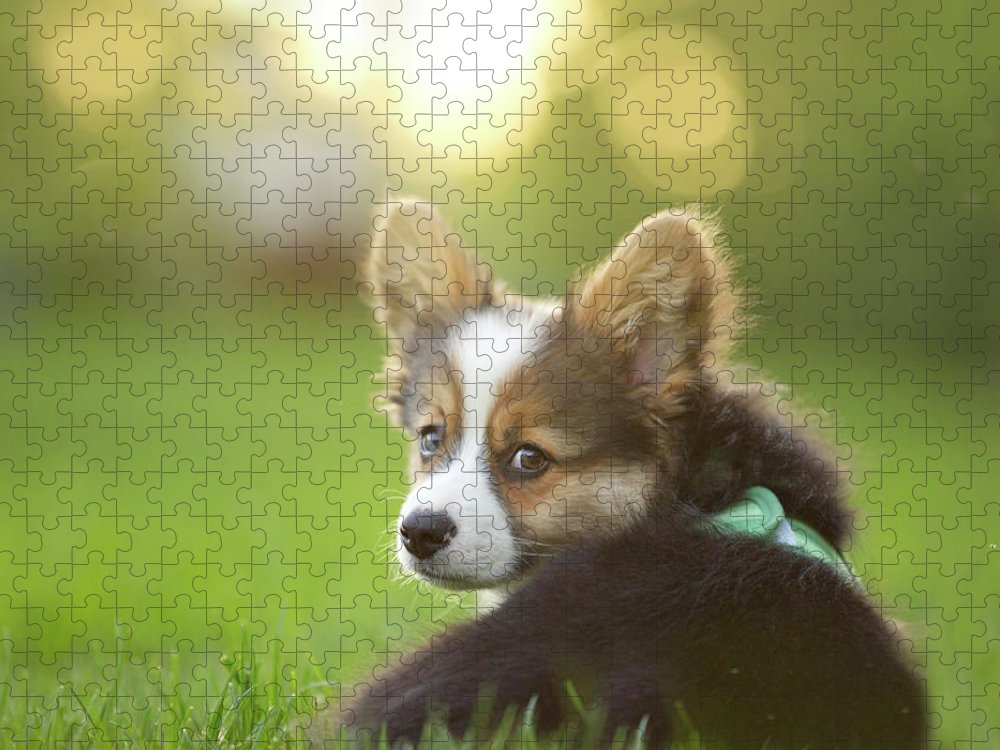 Pets Puzzle featuring the photograph Fluffy Corgi Puppy Looks Back by Holly Hildreth