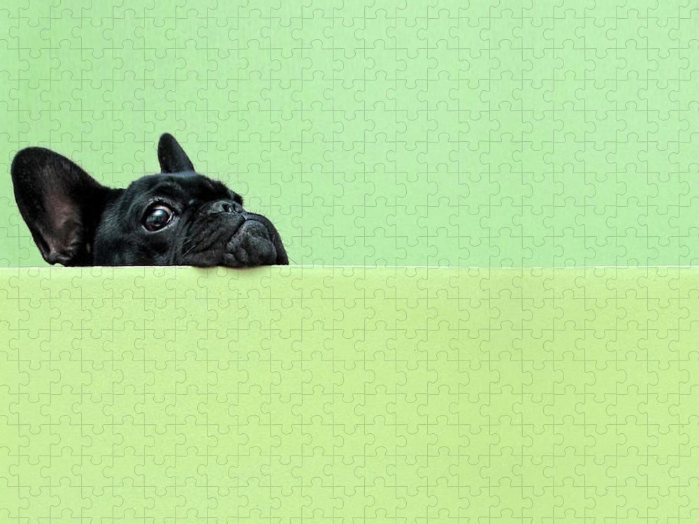 Pets Puzzle featuring the photograph French Bulldog Puppy by Retales Botijero